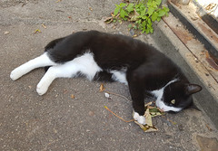 Tuxedo cat in Nordby (cats_in_blue) Tags: