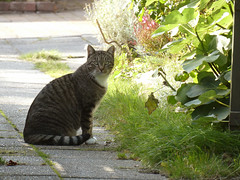 Striped cat in Nordby (cats_in_blue) Tags: