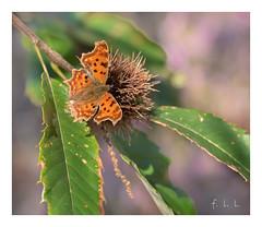 Robert le Diable (FLL087) Tags: papillon nature campagne saison automne chataignier limousin nouvelleaquitaine butterfly