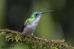 Andean Emerald (Jmawnster) Tags: amaziliafranciae andeanemerald tandyapa