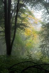 Nebelwald / Misty forest (Pippilotta aus dem Tal) Tags: sel85f18
