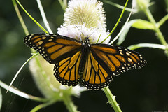 Butterfly 2019-159 (michaelramsdell1967) Tags: butterfly butterflies nature macro animal animals insect insects monarch monarchs green orange thistle vivid vibrant beauty beautiful detail delicate fragile wings meadow bug bugs upclose closeup wildlife pretty lovely zen