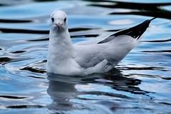 Gul (haslerbryan) Tags: elements closeup greatbritain blue autumn bird water canoneos hertfordshire hoddesdon gul avian newriver canon60d sigma50500mmlens