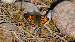 _DSC0330 (kevin_nota) Tags: nature wildlife naturephoto wildlifephotography butterfly queenofspainfritillary issoria issorialathonia
