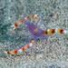 Blue boxer shrimp (Stenopus tenuirostris)