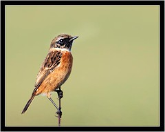 STONECHAT { female } (PHOTOGRAPHY STARTS WITH P.H.) Tags: wembury point south devon nikon d500 300mm 28 g ii 17 teleconverter hen stonechat