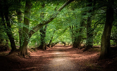 walk in the woods (paullangton) Tags: autumn woods trees colour fall light warm hertfordshire nature landscape countryside shadows green woodland ancient ashridge