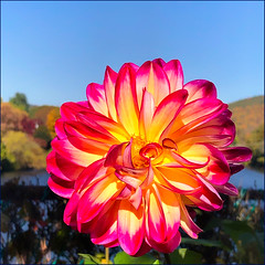 Dahlia on the Bridge of Flowers (Timothy Valentine) Tags: color camera2 bloom 1019 bridgeofflowers vacation 2019 berkshires sliderssunday shelburnefalls massachusetts unitedstatesofamerica