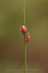 Partnership (Laura Macky) Tags: ladybugs migration wildlife redwoodregionalpark oakland insects macro