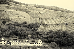 Rows of Grape Vines _8484 (hkoons) Tags: middlerhine rhineriver rivercruise vikingrivercruise farmworker farmworkers assmannshauser germany harvest hollenberg rhine rhineland viking abode aggie agriculture colors community crop crops cruise dirt fall farm farming field fields flora folklore folks grain grape grapes grass home house housing implements juice landscape nectar outdoors outside plants ranch residence residency residential river roof rows rural ship sky soil sun sunlight sunshine thatch tile tour tourism tourist town traditions travel trees village vines vineyard water wine winery