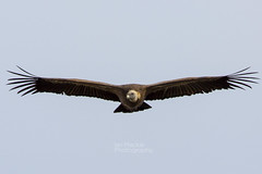 Griffon vulture (IanMackie) Tags: vulture bird griffon griffonvulture spain andalucia