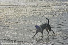 contre jour HSS (RCB4J) Tags: sony sony18250mmf3563dtaf sonyslta77v sonyalpha ayrshire ayrshirecoast art babygrace beach clydecoast dogwalkadventures dogwalkingphotography dogs firthofclyde irvinebeach on1 on1pics on1photoraw2019 photography rcb4j ronniebarron sand sea scotland siameselurcher hss happysliderssunday sliderssunday