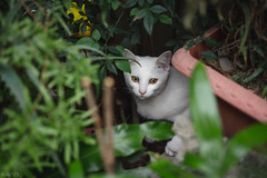 猫 (fumi*23) Tags: ilce7rm3 sel55f18z 55mm sonnartfe55mmf18za sony sonnar a7r3 animal alley cat chat gato neko emount ねこ 猫 ソニー 仔猫