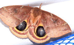 female io moth (ophis) Tags: lepidoptera saturniidae hemileucinae automeris automerisio iomoth