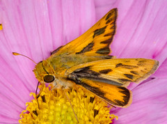 Fiery Jetplane (tresed47) Tags: 2019 201910oct 20191019homeinsects butterflies canon7d chestercounty content fall fieryskipper folder insects macro october pennsylvania peterscamera petersphotos places season skipper takenby technical us