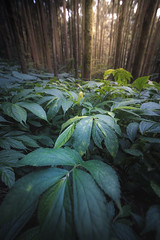Leaves and Trees (archkoven13) Tags: taiwan forest 森林 微光 林木 山林 mountain landscape 14mm plant wood green flower nature canon6d2