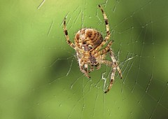 AY 299 (cadayf) Tags: campagne countryside nature animal insecte araignée spider bokeh proxy