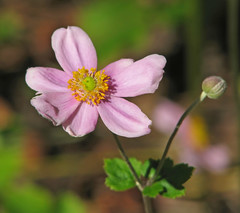 an October anemone (Vicki's Nature) Tags: anemones japaneseanemones pink green flowers blossom bud october fall vickisnature canon s5 3175
