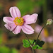 an October anemone