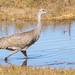 Sandhill Crane (immature)