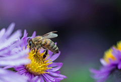 autumn bee (Simple_Sight) Tags: blue autumn flower macro green closeup garden blossom violet bee honey aster insect