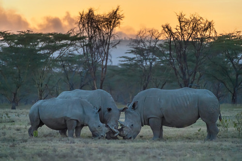 White rhinoceros family bonding at sunset at Lake Nakuru National Park, Kenya, East Africa