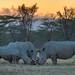 White rhinoceros family bonding at sunset at Lake Nakuru National Park, Kenya, East Africa
