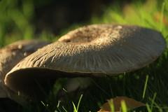 Wild \Mushrooms (janpaulkelly) Tags: mushrooms wildmushrooms fungi outdoors glasnevin dublin ireland nature autumn biodiversity grass green macro closeup fall