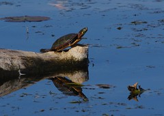 Painted turtle (S. J. Coates Images) Tags: kingston cataraqui cataraquui river water fall turtle reptile