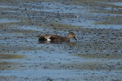 Gadwall (S. J. Coates Images) Tags: kingston cataraqui cataraquui river water fall duck waterfoul