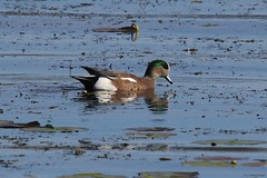 American Wigeon (S. J. Coates Images) Tags: kingston cataraqui cataraquui river water fall duck waterfoul