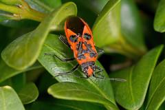 IMG_9736   Corizus hyoscyami - a Rhopalid bug on box (davidh-j) Tags: canon macro nature arthropods insects hemiptera