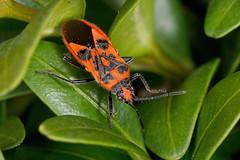 IMG_9737  Corizus hyoscyami - a Rhopalid bug on box (davidh-j) Tags: canon macro nature arthropods insects hemiptera