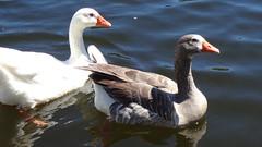 Ganso-Goose (Matí Matias) Tags: