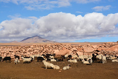 Moutons Sud Lipez Bolivie _3263 (ichauvel) Tags: moutons animaux mamiphéres faune groupedanimaux volcan volcano sudlipez altitude altiplano cordilléredesandes bolivie bolivia amériquedusud southamerica amériquelatine exterieur outside nuages clouds ciel sky paysage landscape froid cold getty