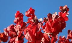 Simply red (Raffa2112) Tags: autunno coloridautunno coloriautunnali foglie rosso fall autumn autumncolors red leaves foliage canoneos750d raffa2112