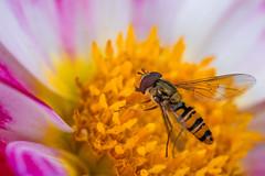 (Laetitia.p_lyon) Tags: fujifilmxt2 insecte insect macro