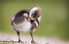 Egyptian goose gosling (Paula Darwinkel) Tags: gosling goose duck duckling animal wildlife nature birdphotography wildlifephotography