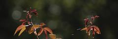 Rose Leaves Autumn (Modkuse) Tags: fly roseleaves autumn nature natural art artphotography artistic artisticphotography photoart fineartphotography fineart natureart fujifilm fujifilmxt2 fujinon xt2 fujinonxf55200mmf3548rlmois xf55200mmf3548rlmois astia astiasimulation fujifilmastiasimulation fujifilmxt2astiasimulation bokeh