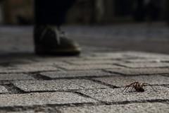 Avant que ça tégénaire ! (Tonton Gilles) Tags: photo rapprochée proxiphoto proxiphotographie macro araignée tégénaire pied flou bokeh chaussure jambe
