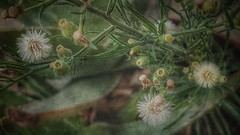 Hierbajo. (Marina Is) Tags: hierba weed badweed malahierba hss sliderssundays