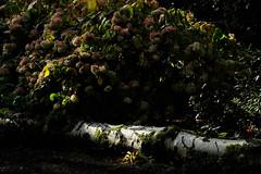 Fallen log (Allan Rostron) Tags: naturereserves trees birch logs