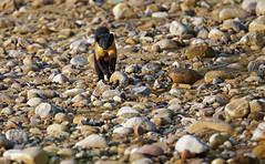 Yello-throated Marten II (ZeePack) Tags: nature animalwildlife outdoors nopeople martesflavigula yellowthroatedmarten corbetttigerreserve bijrani hunter mammal weasel canon 5dmarkiv uttarakhand india