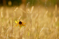 Black-eyed Susan (MarcBphotos) Tags: black eyed susan flower nature wheat sun fall colors autumn