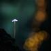 Mycena sp (Mike Mckenzie8) Tags: wild mushroom toadstool autumn uk fungi fungus forest