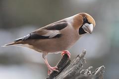 Hawfinch7801 (alfred.reinartz) Tags: bird vogel singvogel kernbeisser hawfinch coccothraustes em1