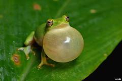 Jayaram's Bush Frog (harshithjv) Tags: frog jayaramsbushfrog vocalsac vocal sac bushfrog amphibian anurans rhacophoridae amphibia anura canon 80d tamron macro 90mm agumbe godox tt685c
