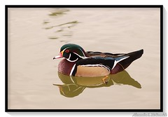 Wood Duck (Shadow _ Traveler) Tags: woodduck duck carolinaduck animal photography portrait landscape nature macro wildlife waterfowl