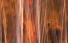 Sunset Birch (T L Sepkovic) Tags: birch trees birchtrees sunset foliage fallfoliage autumn color slowshutter panning motionblur verticalpan leaves abstractnature abstract abstractphotography canonusa lenscoat nature naturephotography