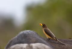 Yellow-Billed Oxpecker (Buphagus africanus) (Sheldrickfalls) Tags: buphagusafricanus yellowbilledoxpecker oxpecker s100 satara buffalo krugernationalpark kruger krugerpark mpumalanga southafrica